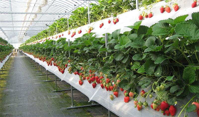 Бизнес план по выращиванию клубники круглый год