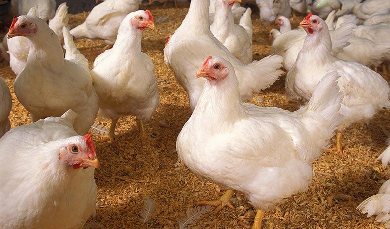 Выращивание бройлеров как бизнес, сколько стоит кг домашних кур