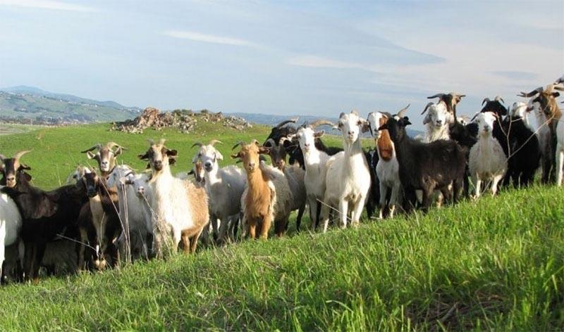 Разведение коз как бизнес
