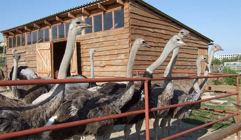 Разведение страусов как бизнес: как открыть страусиную ферму{q}