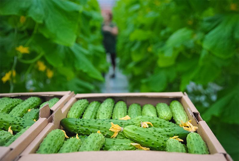Изображение - Выращивание огурцов в теплице из поликарбоната как бизнес urozhay