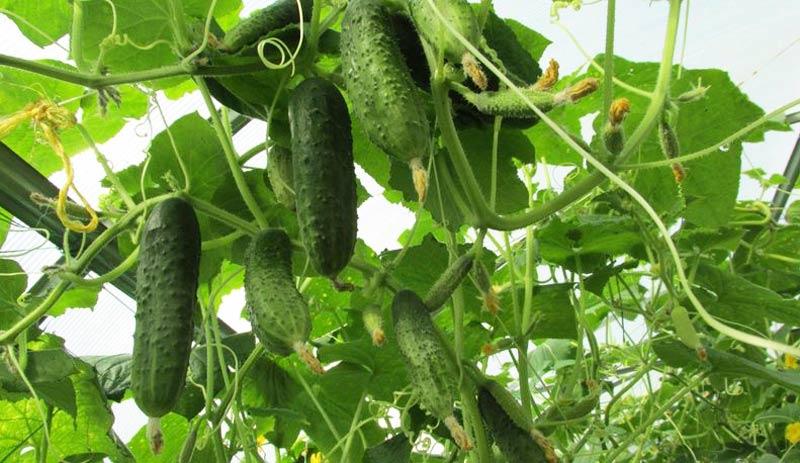 Выращивание огурцов как бизнес
