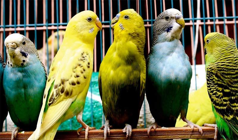 Разведение попугаев в домашних условиях