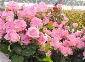Выращивание роз на продажу