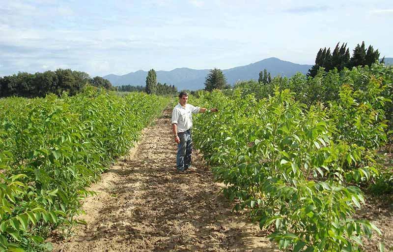 Ореховая плантация