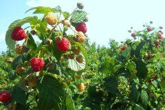 Выращивание малины как бизнес