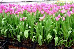 Выращивание тюльпанов в теплице как бизнес