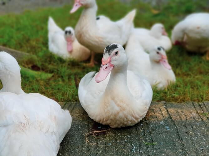 какие породы подходят для мини птицефермы