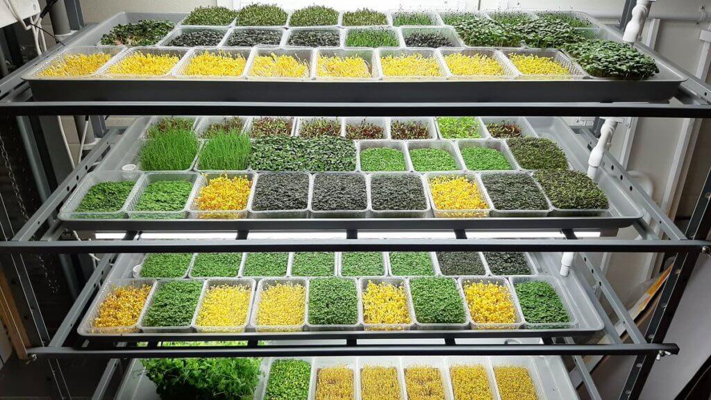 Как открыть бизнес на микрозелени
