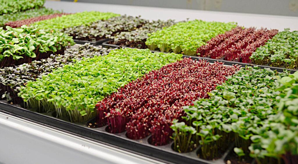 Можно ли заработать на микрозелени